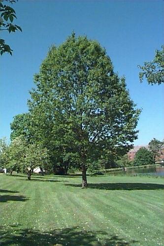 Chêne rouge fastigié