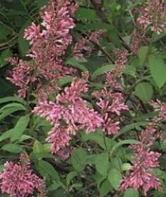 Lilas duveteux