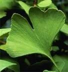 Ginkgo biloba ( arbre aux 40 écus)