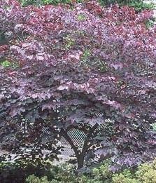 Arbre de Judée (gainier)  'Forest Pansy' du Canada
