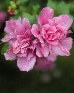 Hibiscus Woodbridge sur tige
