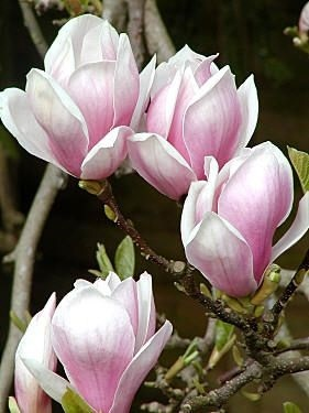 Magnolia Alexandrina