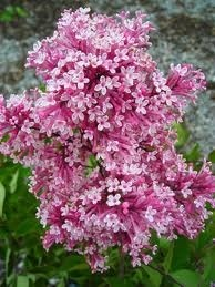 Lilas 'Tinkerbelle'