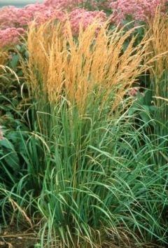 Graminée Calamagrostis Karl Foerster