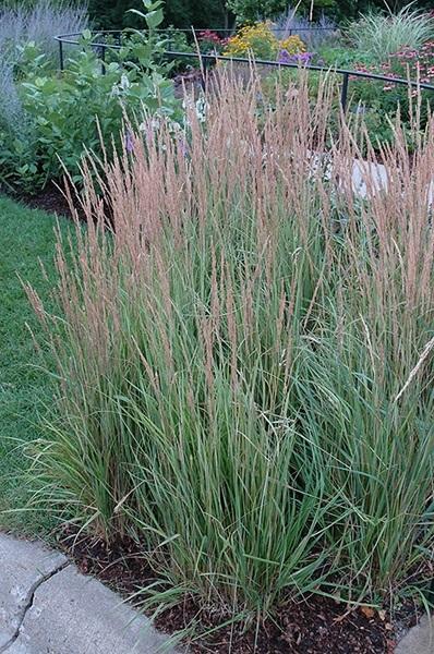 Graminée Calamagrostis Overdam
