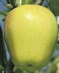 Pommier Délicieuse jaune