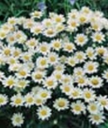 Chrysanthemum max. silver princess