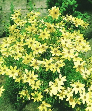 Coreopsis vertic. moonbeam