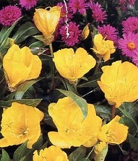 Oenothera Pum. 'Butter cup'