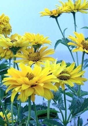 Heleopsis summer sun / ballerina
