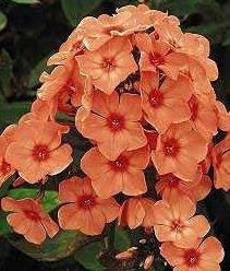Phlox Orange perfection