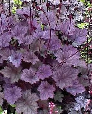 Heuchère frosty violet