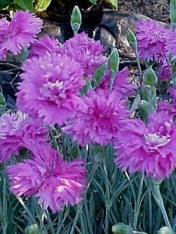 Dianthus 'Spring Beauty'