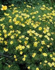 Coreopsis Moon Beam