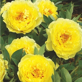 Pivoine Yellow Crown