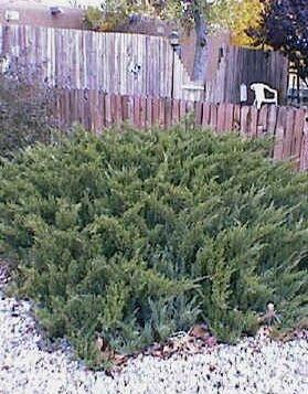 Genévrier sabina Tamariscifolia